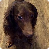 Adopt A Pet :: Widdle - Garland, TX