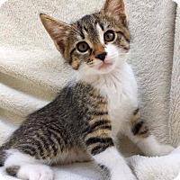 Adopt A Pet :: Gavin - Valley Park, MO