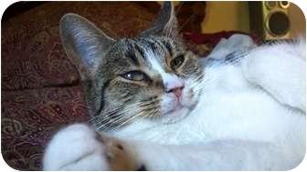 Domestic Shorthair Cat for adoption in Phoenix, Arizona - Tammy