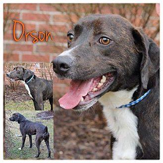 Boxer/German Shorthaired Pointer Mix Dog for adoption in Garden City, Michigan - Orson