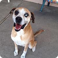 Adopt A Pet :: Isaac - Canoga Park, CA