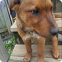 Adopt A Pet :: Diesel - Sinking Spring, PA