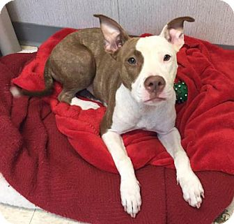 Pit Bull Terrier Dog for adoption in Dallas, Georgia - Linda