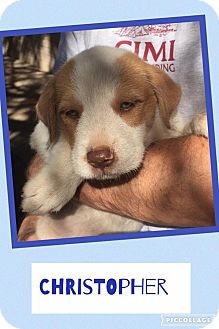 Shepherd (Unknown Type)/Pit Bull Terrier Mix Puppy for adoption in Scottsdale, Arizona - Christopher