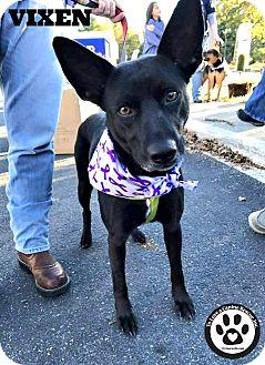 Shepherd (Unknown Type) Mix Dog for adoption in Kimberton, Pennsylvania - Vixen