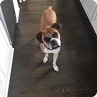 Boxer Dog for adoption in Richmond, Virginia - LEXI