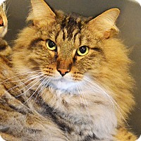 Domestic Mediumhair Cat for adoption in Lincoln, Nebraska - Newt