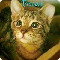 Adopt A Pet :: Triscuit - York, PA