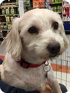 Maltese Mix Dog for adoption in Lakewood, California - MIA