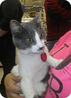 Domestic Shorthair Cat for adoption in Edmond, Oklahoma - Theodore
