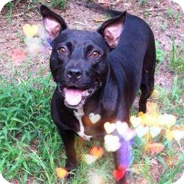 American Staffordshire Terrier Mix Dog for adoption in Tallahassee, Florida - Sarah