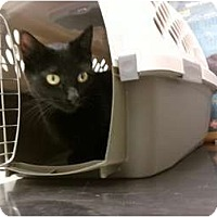 Domestic Shorthair Cat for adoption in Baton Rouge, Louisiana - Cleo