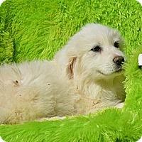 Adopt A Pet :: Paula - New Boston, NH