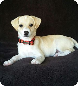 Chihuahua Mix Puppy for adoption in Eugene, Oregon - Babe