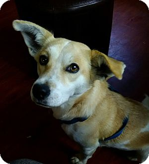 Corgi/Beagle Mix Dog for adoption in Lima, Pennsylvania - Elsa