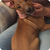 Adopt A Pet :: Rhys - Baltimore, MD