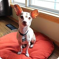 Adopt A Pet :: Choppy - Duchess, AB