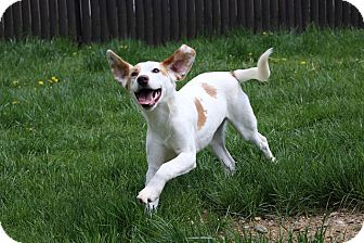 Setter (Unknown Type) Mix Dog for adoption in Sparta, New Jersey - Patches
