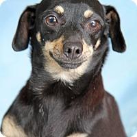 Dachshund Mix Dog for adoption in Encinitas, California - Henrietta