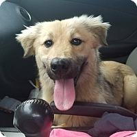 Adopt A Pet :: Nala-pending adoption - Manchester, CT