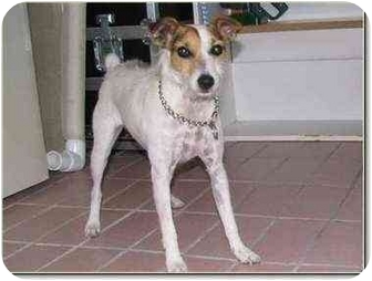 Jack Russell Terrier Dog for adoption in Miami Beach, Florida - Jack,Purebred,FL