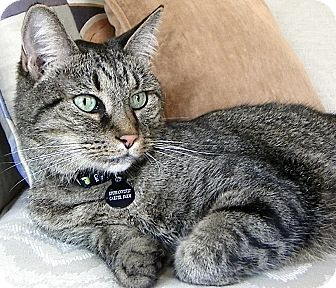 Domestic Mediumhair Cat for adoption in Alexandria, Virginia - Epiphany