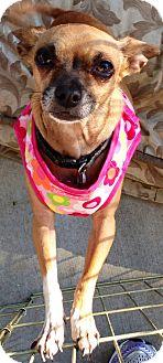 Chihuahua Mix Dog for adoption in San Diego, California - Peanut