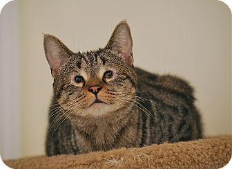 Domestic Shorthair Cat for adoption in Trevose, Pennsylvania - Ling