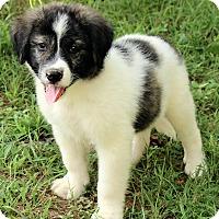 Adopt A Pet :: Alexander - Staunton, VA