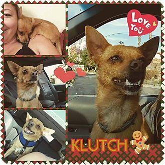 Chihuahua/Pomeranian Mix Dog for adoption in Santa Rosa, California - Klutch