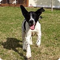 Adopt A Pet :: Wall-E - Knoxville, TN