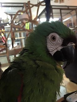 Macaw for adoption in Blairstown, New Jersey - Bungee - severe