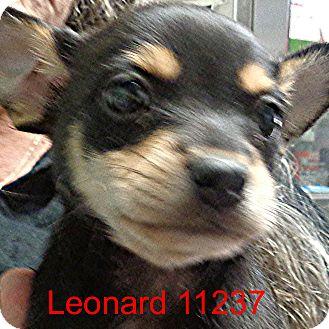 Chihuahua Mix Puppy for adoption in Greencastle, North Carolina - Leonard