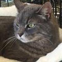 Domestic Shorthair Cat for adoption in Stafford, Virginia - Jinx