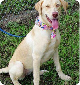 Labrador Retriever Mix Dog for adoption in Deer Park, New York - Willow