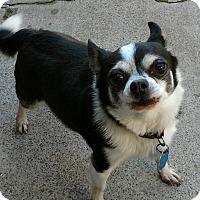 Adopt A Pet :: Boogle - San Diego, CA