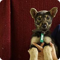 Adopt A Pet :: Sable - Oviedo, FL