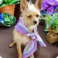 Yorkie, Yorkshire Terrier/Chihuahua Mix Dog for adoption in Irvine, California - Winkie