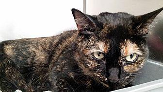 Domestic Shorthair Cat for adoption in Las Vegas, Nevada - Cheetra