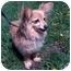Photo 1 - Papillon/Dachshund Mix Dog for adoption in Palatine, Illinois - EMMA