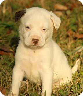 Boxer/Dalmatian Mix Puppy for adoption in Windham, New Hampshire - Amy