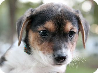 Chihuahua/Beagle Mix Puppy for adoption in Austin, Texas - Waldo Woo
