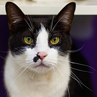 Domestic Shorthair Cat for adoption in Houston, Texas - Murphy