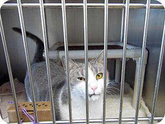 Domestic Shorthair Cat for adoption in Portland, Indiana - Abby