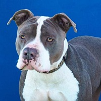 American Staffordshire Terrier Mix Dog for adoption in Toluca Lake, California - Harley