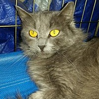 Domestic Mediumhair Cat for adoption in Glendale, Arizona - Arlo