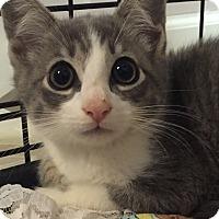 Adopt A Pet :: Ash - Stafford, VA