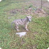 Adopt A Pet :: Freckles - Austin, TX