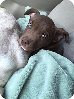 American Pit Bull Terrier/Hound (Unknown Type) Mix Puppy for adoption in Dayton, Ohio - Grizzly