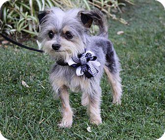 Yorkie, Yorkshire Terrier Mix Dog for adoption in Newport Beach, California - JOEY